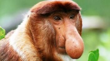 mono-narigudo-nasalis-larvatus